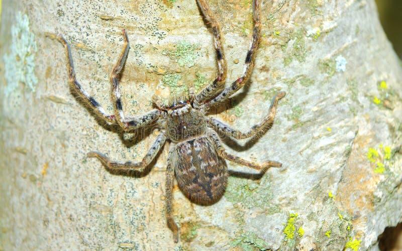 接近的猎人蜘蛛 免版税库存照片