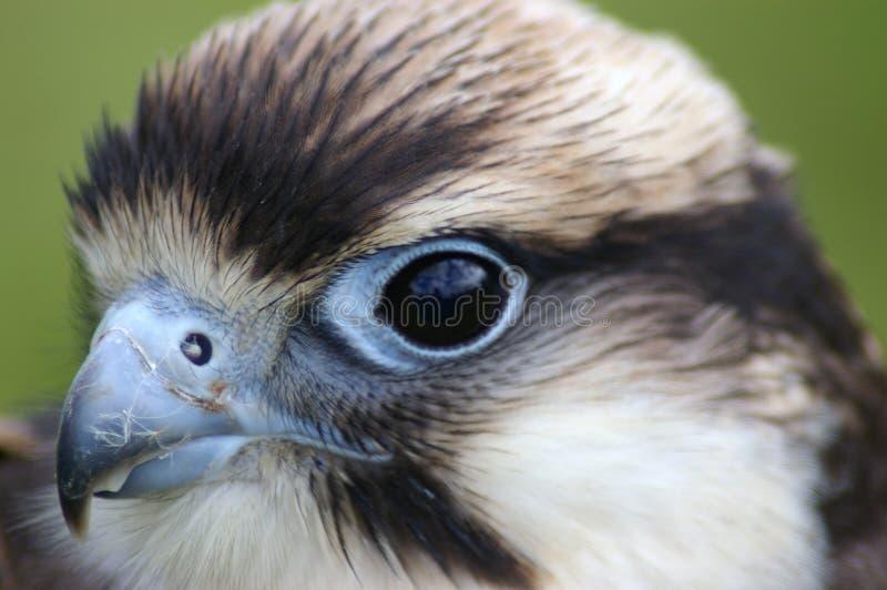 接近的猎鹰 免版税库存照片