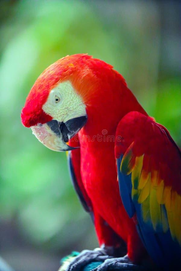 接近的猩红色金刚鹦鹉 库存照片