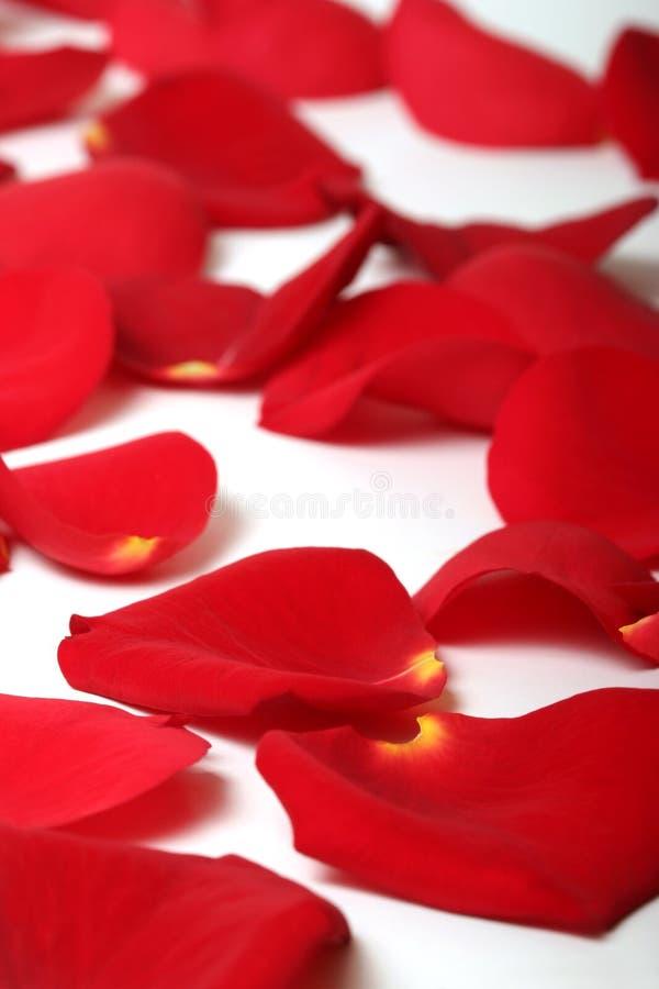接近的瓣玫瑰色  免版税库存照片