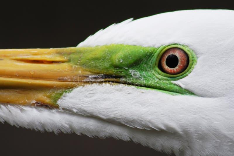 接近的白鹭 免版税库存图片