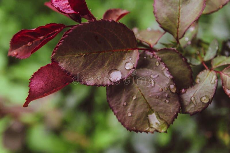 接近的美丽的玫瑰生叶水雨投下夏日绿色背景 免版税库存图片