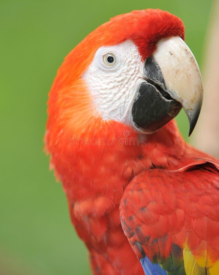 接近的肋前缘金刚鹦鹉壮观的rica猩红ഋ 库存照片