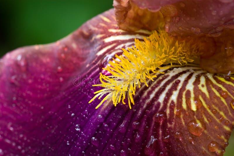 接近的虹膜紫色 免版税库存照片