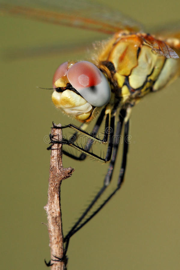 接近的蜻蜓 图库摄影