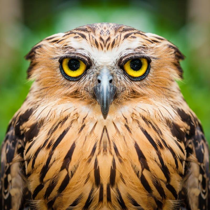 接近的表面猫头鹰 库存图片