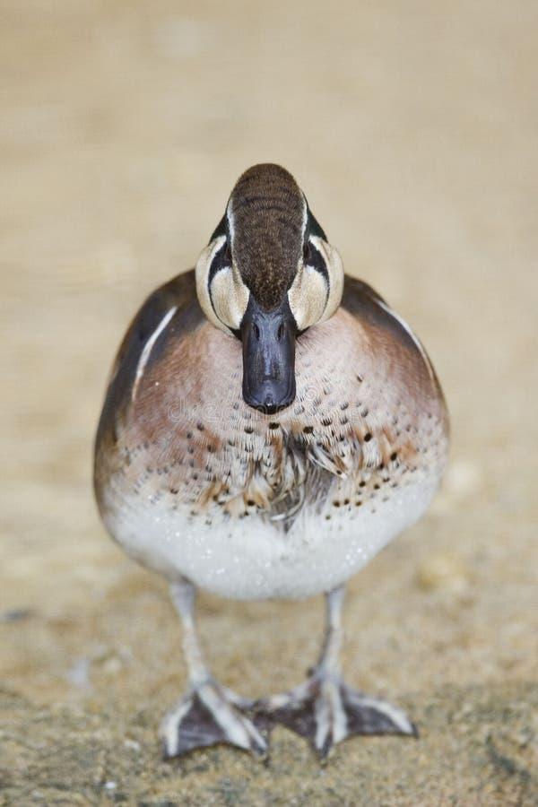 接近的观点的一公贝加尔湖小野鸭,语录福摩萨 免版税图库摄影