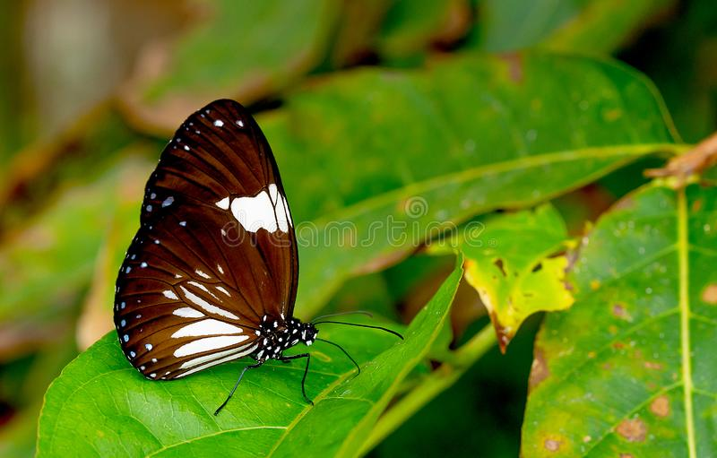 接近的观点的与白色样式逗留的黑褐色蝴蝶在绿色叶子在国立公园森林里在泰国 库存图片