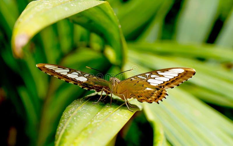 接近的观点的与白色样式逗留的黑褐色蝴蝶在绿色叶子在国立公园森林里在泰国 免版税库存图片