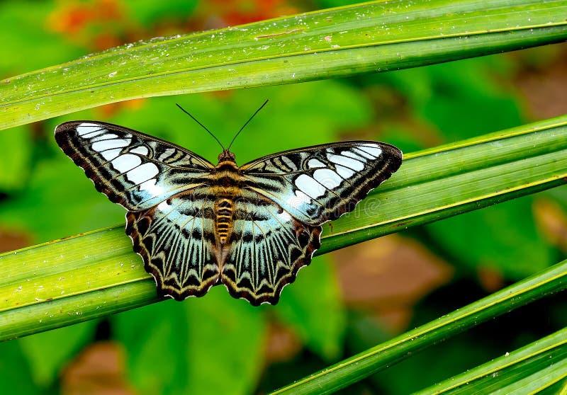 接近的观点的与绿色黑棕色黑白样式逗留的多彩多姿的蝴蝶在植物叶子在森林里  免版税库存图片