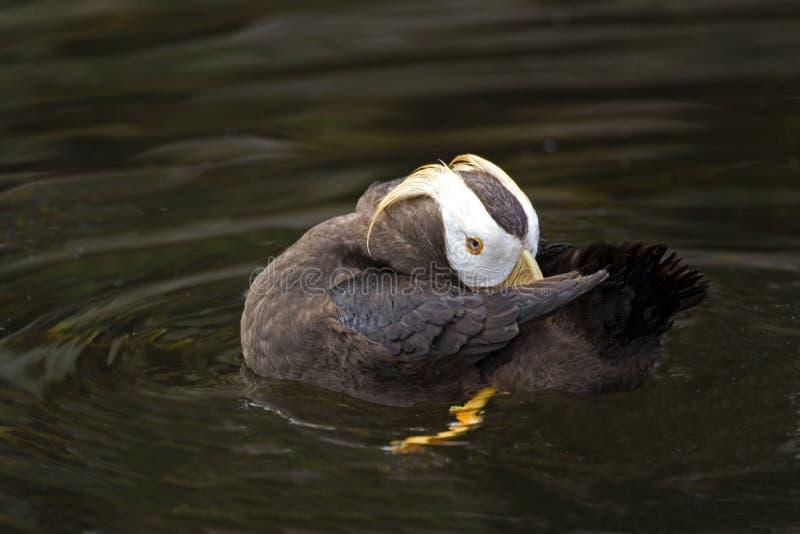 接近的观点的休息的装缨球海鹦 库存照片