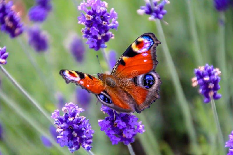接近的观点的在淡紫色花的美丽的孔雀铗蝶 库存照片