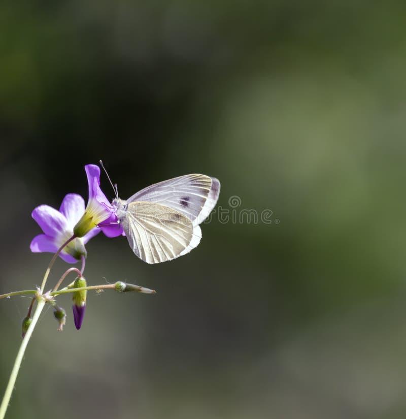 接近的观点的在花的一只蝴蝶 图库摄影