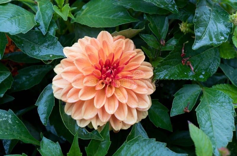 接近的观点的桃红色花大丽花 在绿色庭院背景的桃红色大丽花花 美丽的桃红色大丽花花 库存照片