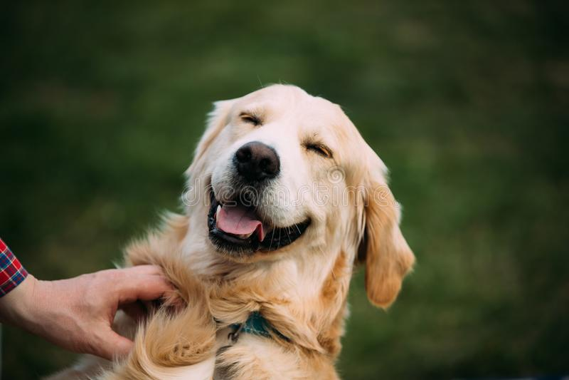 接近的观点的滑稽的幼小愉快的拉布拉多猎犬 狗微笑 图库摄影