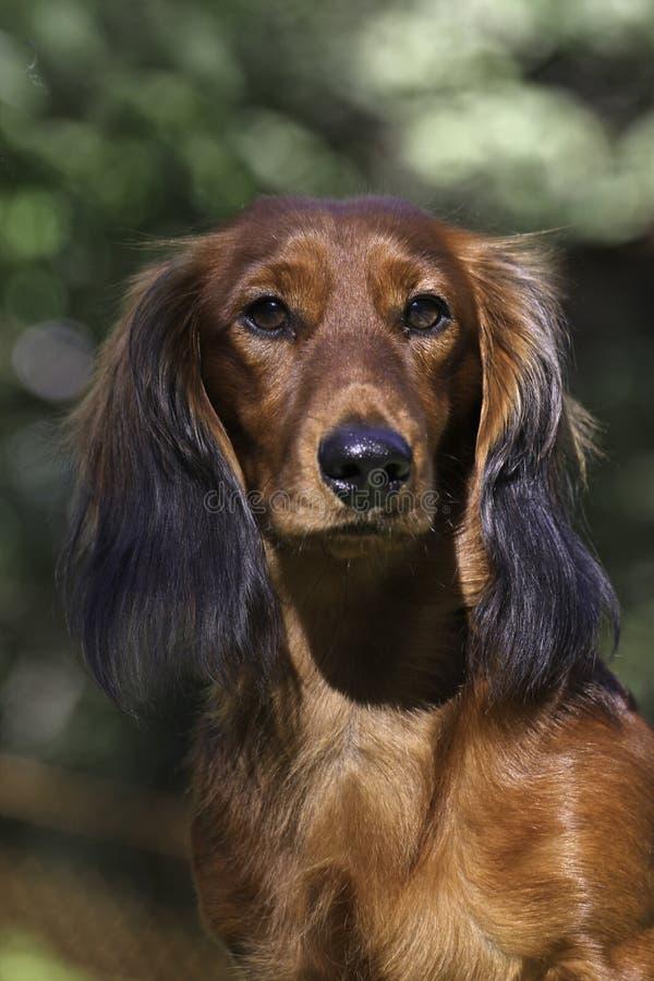 接近的达克斯猎犬portrate红色 库存图片