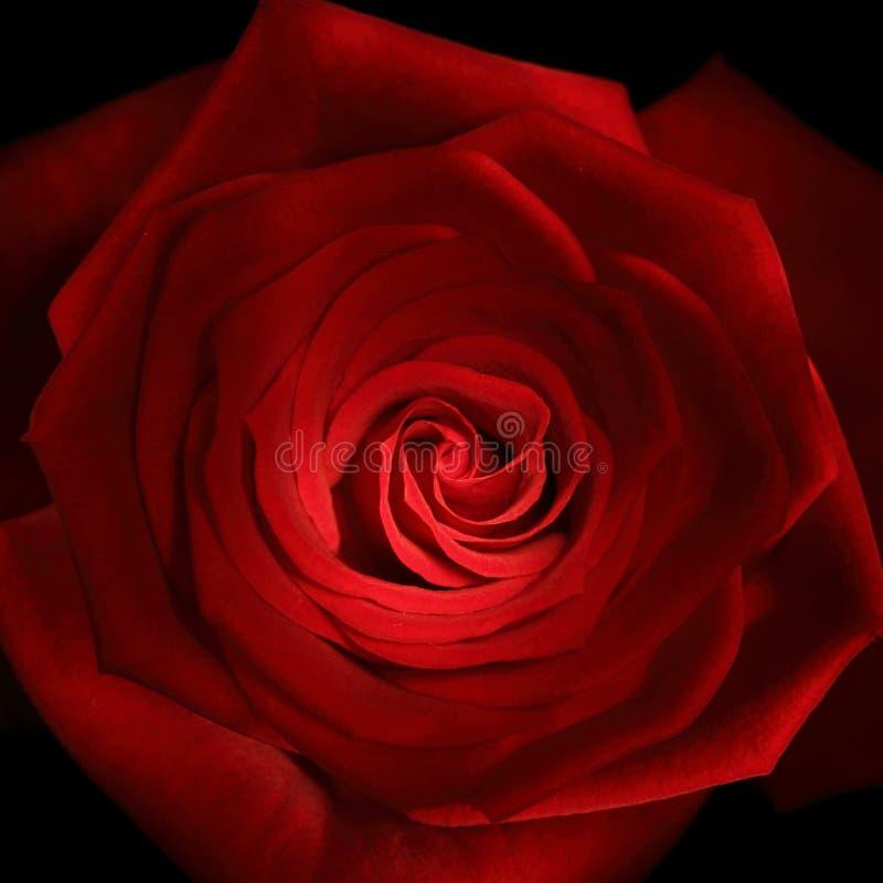 接近的迎光棒被绘的红色玫瑰色  免版税库存图片