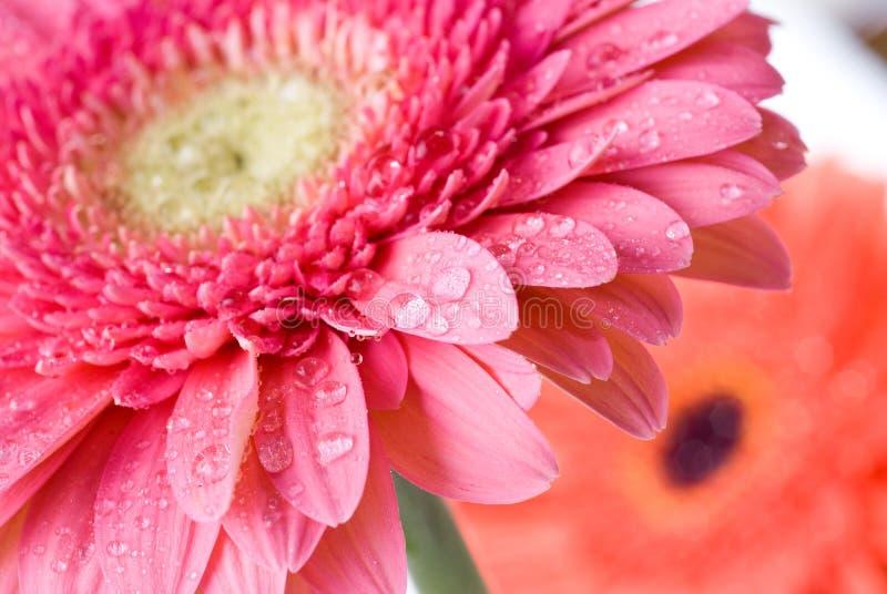 接近的雏菊下降水的大丁草粉红色 库存照片
