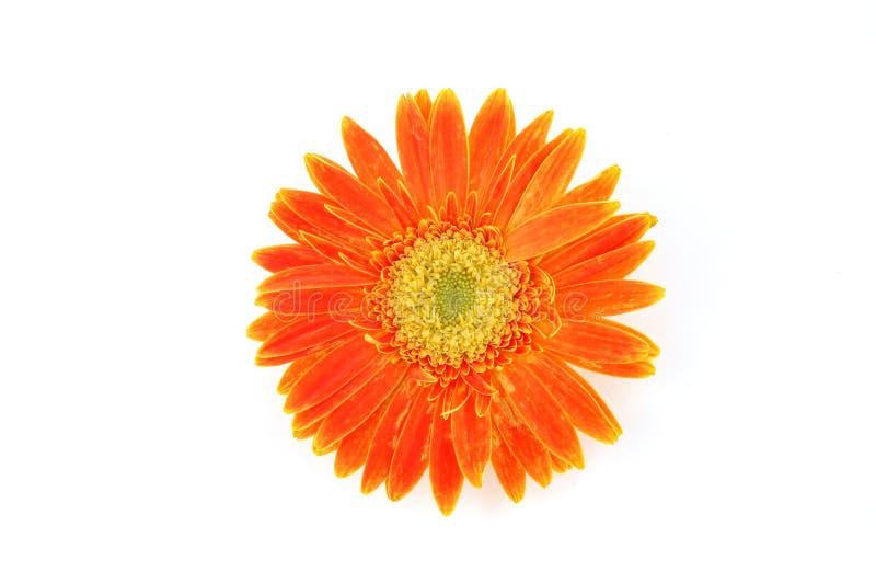 接近的雏菊gerber桔子 免版税库存图片