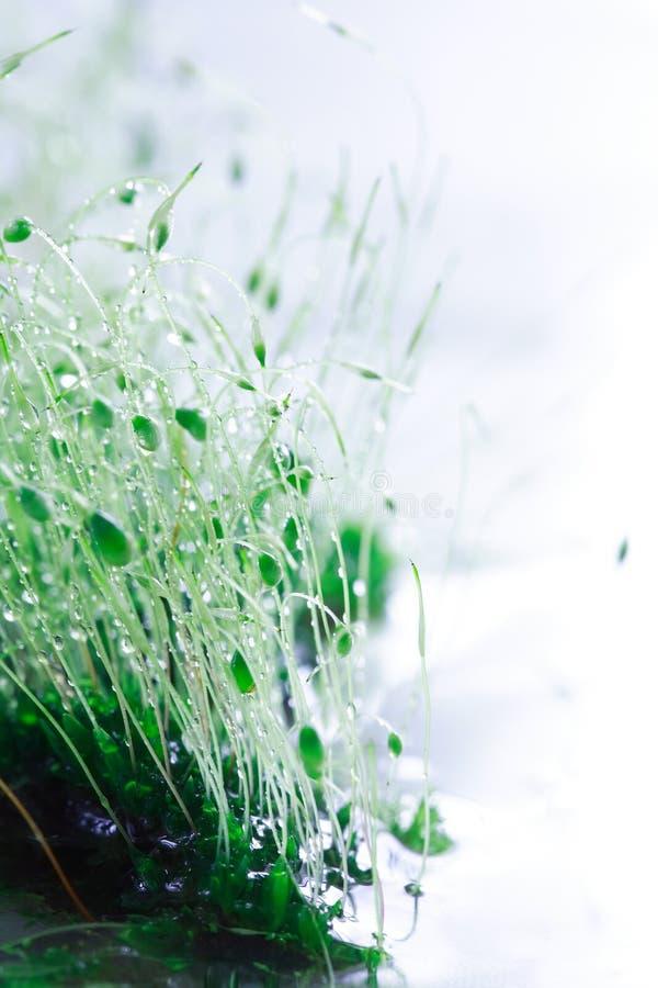 接近的青苔雨 免版税库存照片