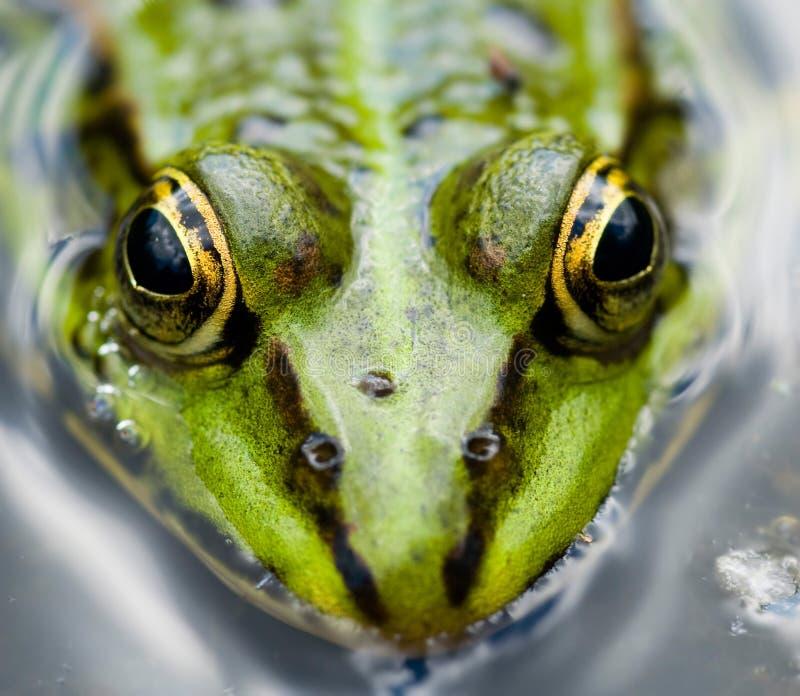 接近的青蛙 库存图片