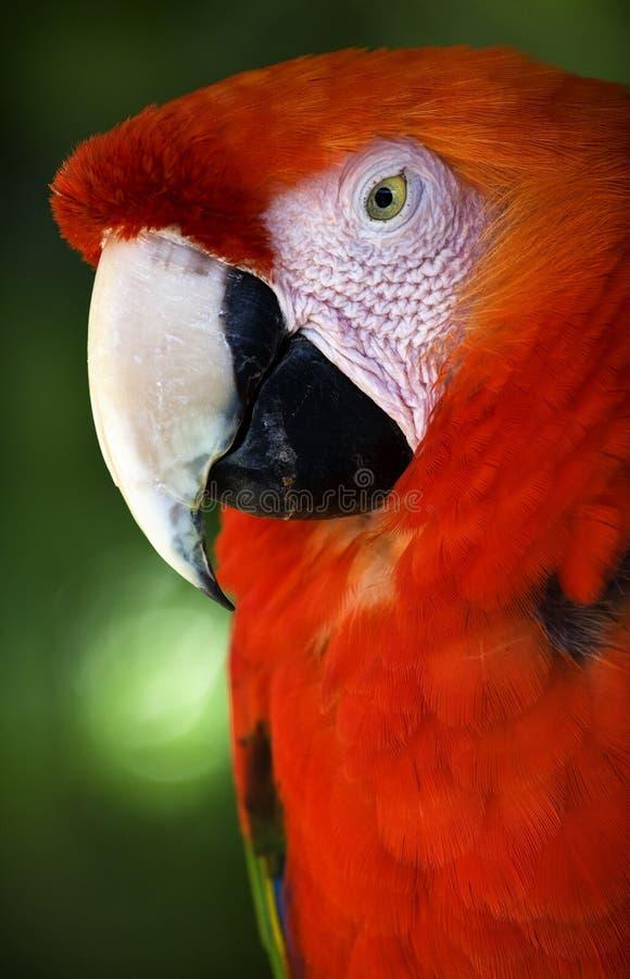 接近的顶头金刚鹦鹉全身羽毛红色猩红色 库存图片
