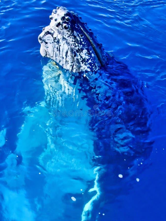 接近的驼背庄严鲸鱼 库存图片