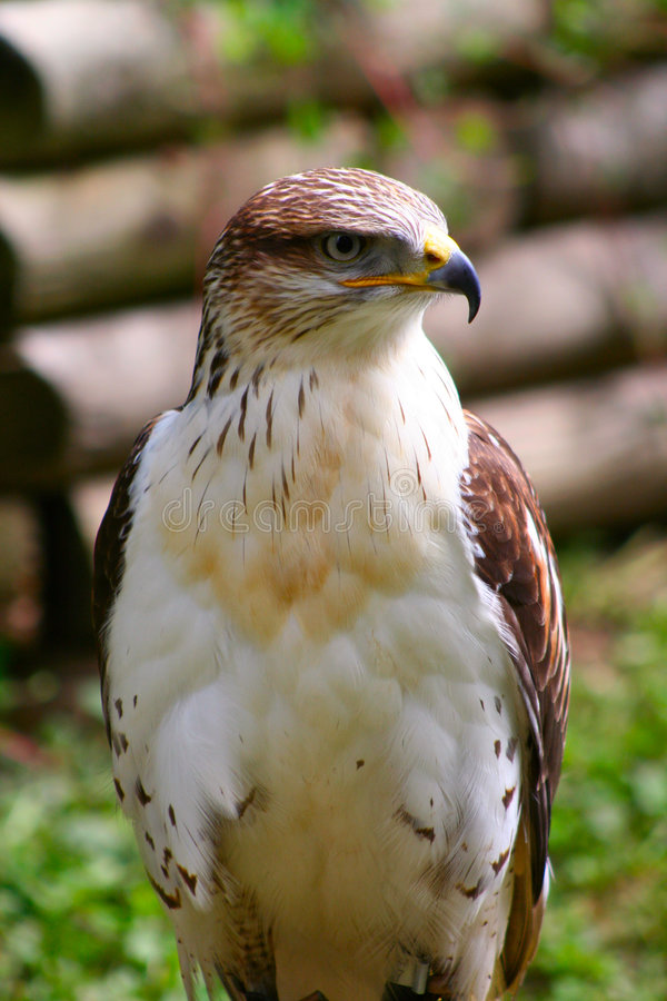 接近的鹰 免版税库存照片