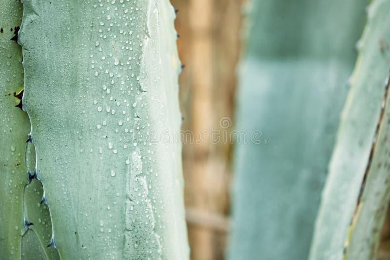 接近的龙舌兰植物叶子 免版税库存照片
