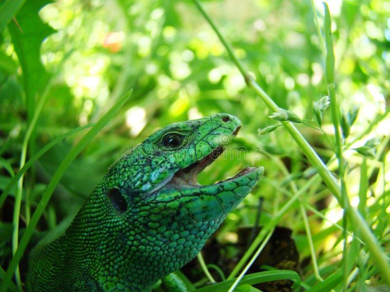 接近的绿蜥蜴 库存图片
