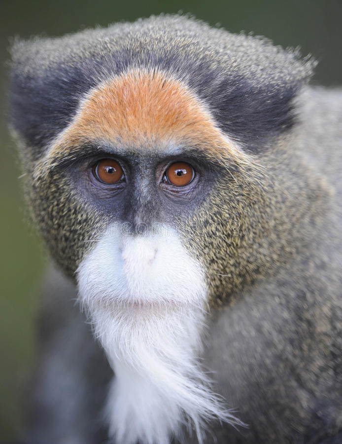 接近的debrazzas面对guenon猴子  图库摄影