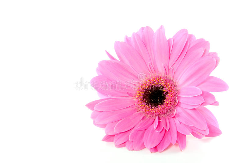 接近的gerber粉红色 库存图片