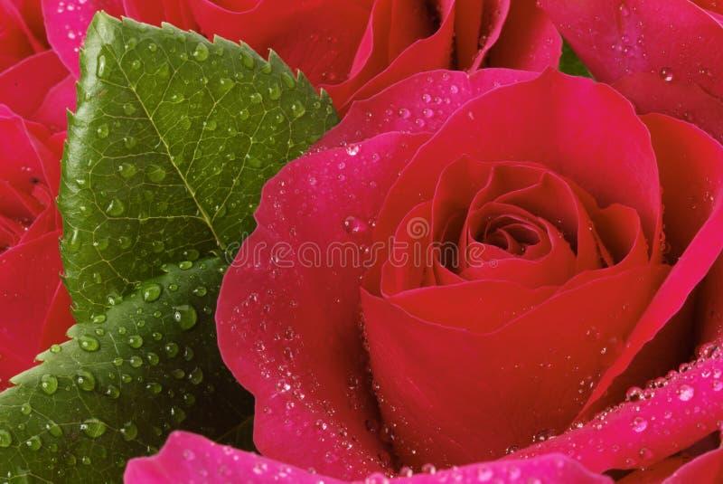 接近红色玫瑰色  库存照片