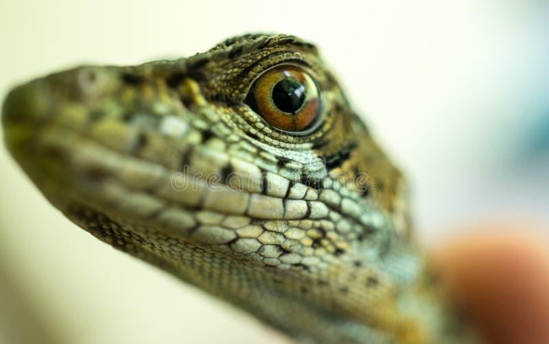 接近蜥蜴` s眼睛手表 库存图片