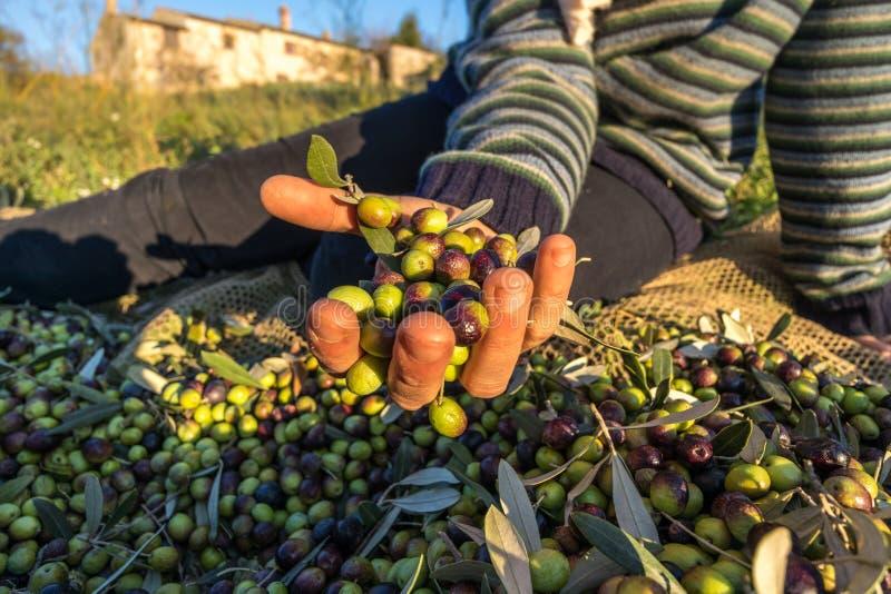 接近被收获的橄榄iin的手  图库摄影