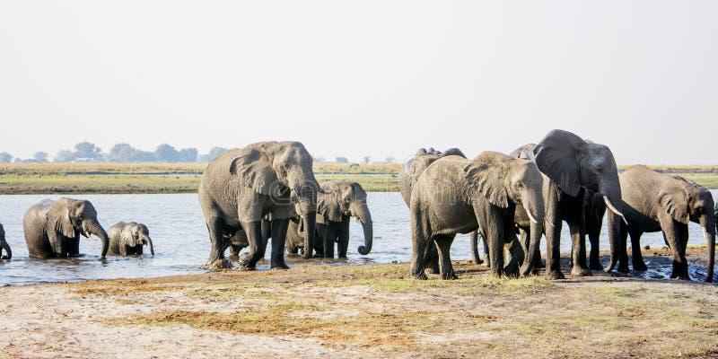 接近通过河的大象牧群 图库摄影
