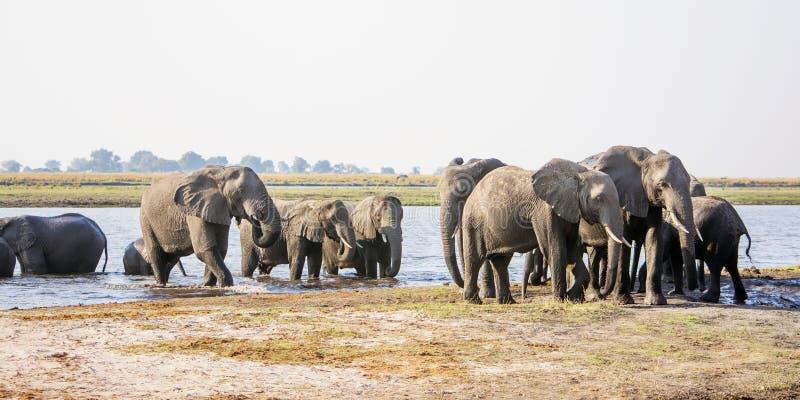 接近通过河的大象牧群 免版税库存图片