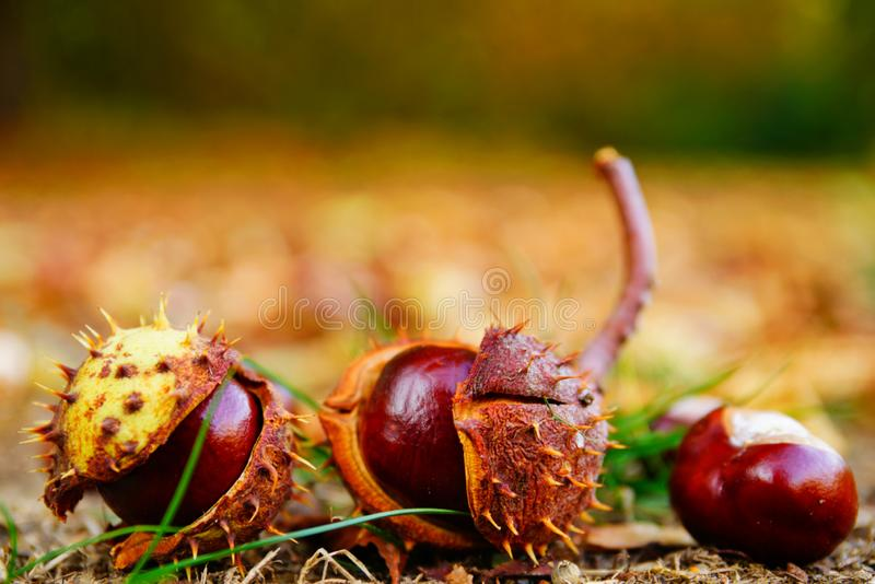 接近chesnuts在户外 库存图片