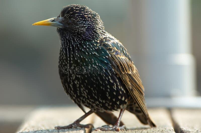 接近starling  免版税库存照片