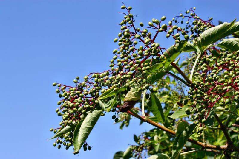 接骨木浆果未成熟的果子  库存照片