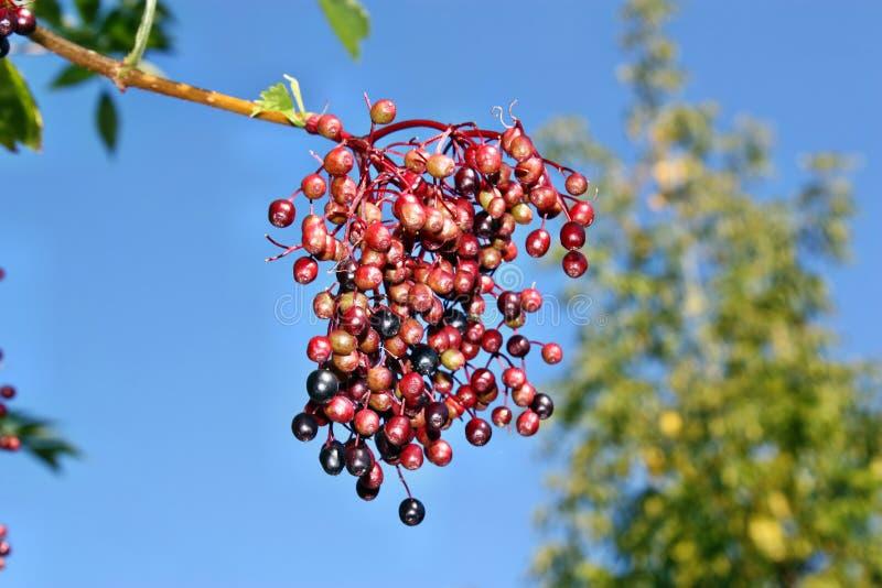 接骨木浆果未成熟的果子  免版税库存图片