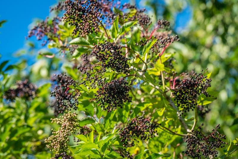 接骨木浆果树用黑莓果 免版税库存图片