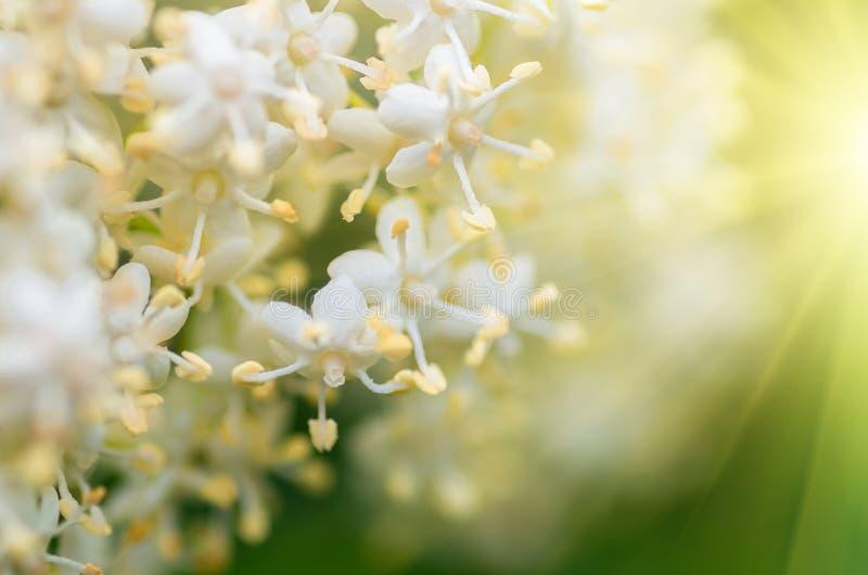 接骨木浆果树,接骨木花分蘖性白花  免版税库存图片