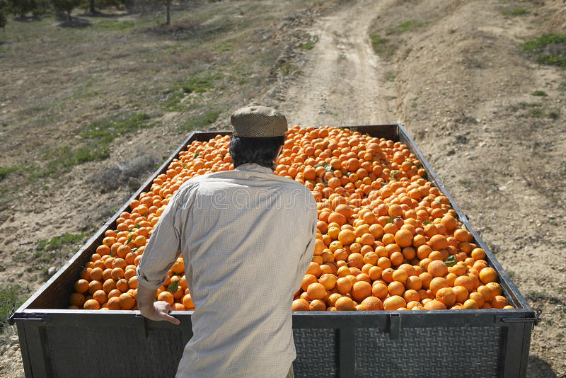推挤在领域的农夫桔子拖车 免版税图库摄影