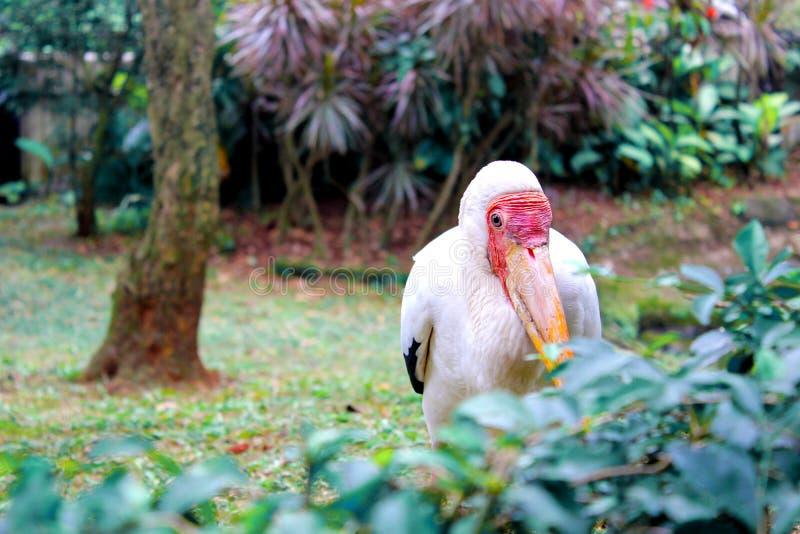 掩藏印度尼西亚TMII的鹈鹕 图库摄影
