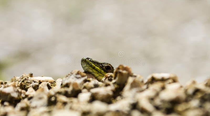 掩藏在墙壁后的特写镜头绿色蜥蜴壁虎蠕动在狂放的自然 在人旁边的狂放的生活 库存照片