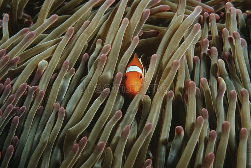 掩藏在壮观的海葵(Heteractis ma的王侯Ampat印度尼西亚太平洋错误小丑anemonefish (双锯鱼ocellaris) 免版税图库摄影