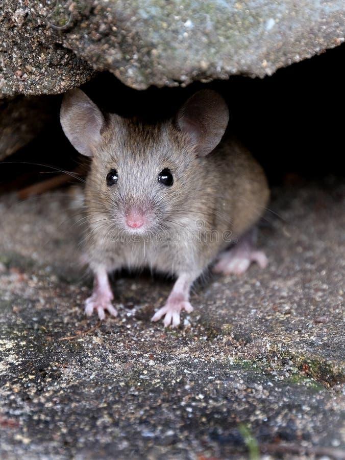 掩藏在庭院的老鼠寻找食物 免版税库存照片