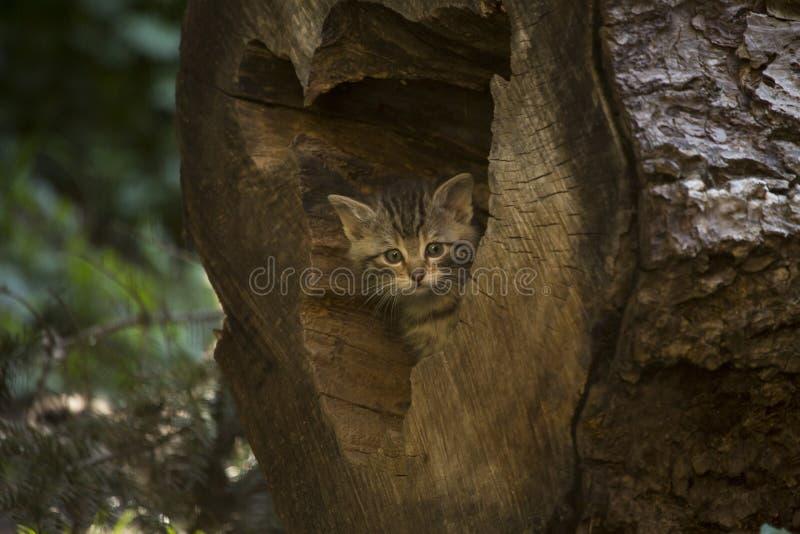 掩藏在日志的欧洲不可靠的小猫 免版税库存照片