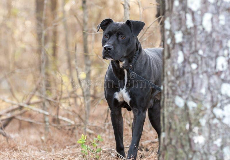 掩藏在松树后的害怕的黑Pitbull狗 免版税库存照片